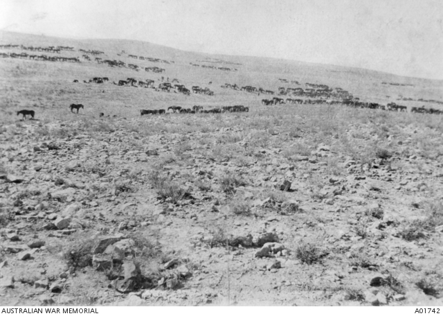 4th LH Brigade horses resting prior to charging at Beersheba. A01742